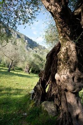 Parco regionale dell'Olivo albero secolare