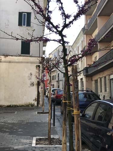 cura albero storico a Campobasso