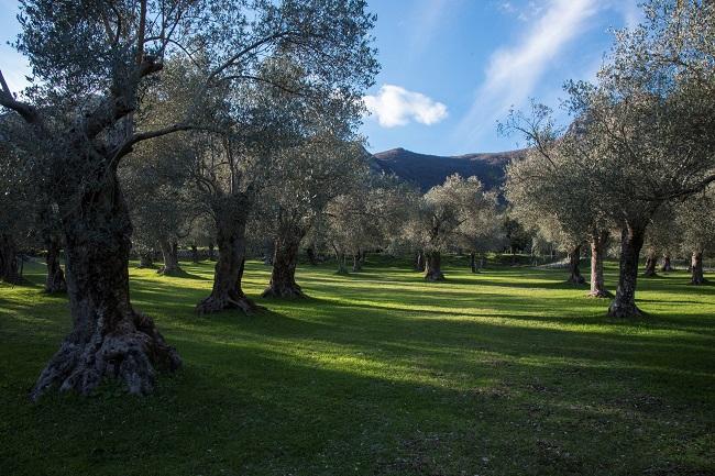 oliveto di Cocozza