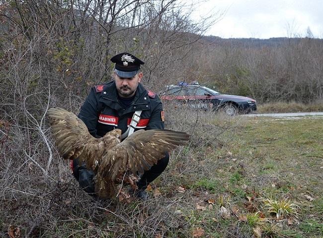 Isernia: salvato dai Carabinieri rapace di specie protetta ferito