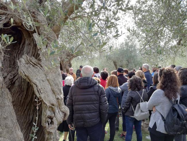 Camminata tra gli olivi Campomarino e Venafro