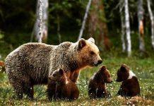 orsa con piccoli