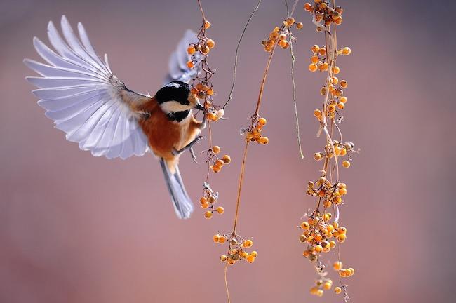 uccellino bacche