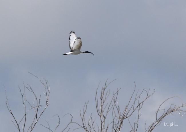 volo ibis sacro
