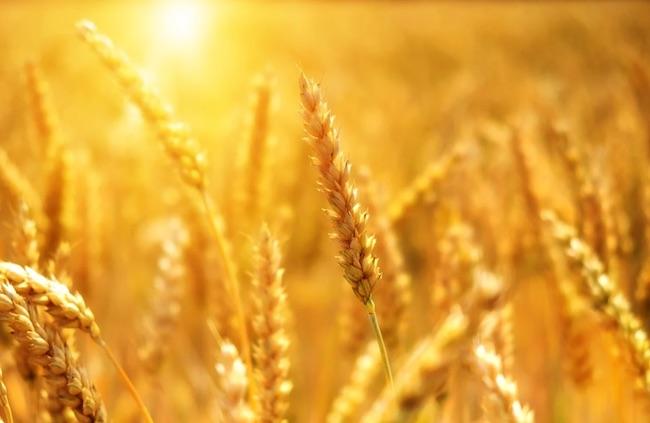 grano cereali