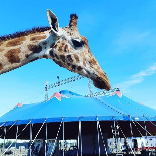 giraffa circo royal