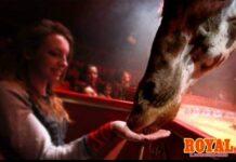 giraffa royal